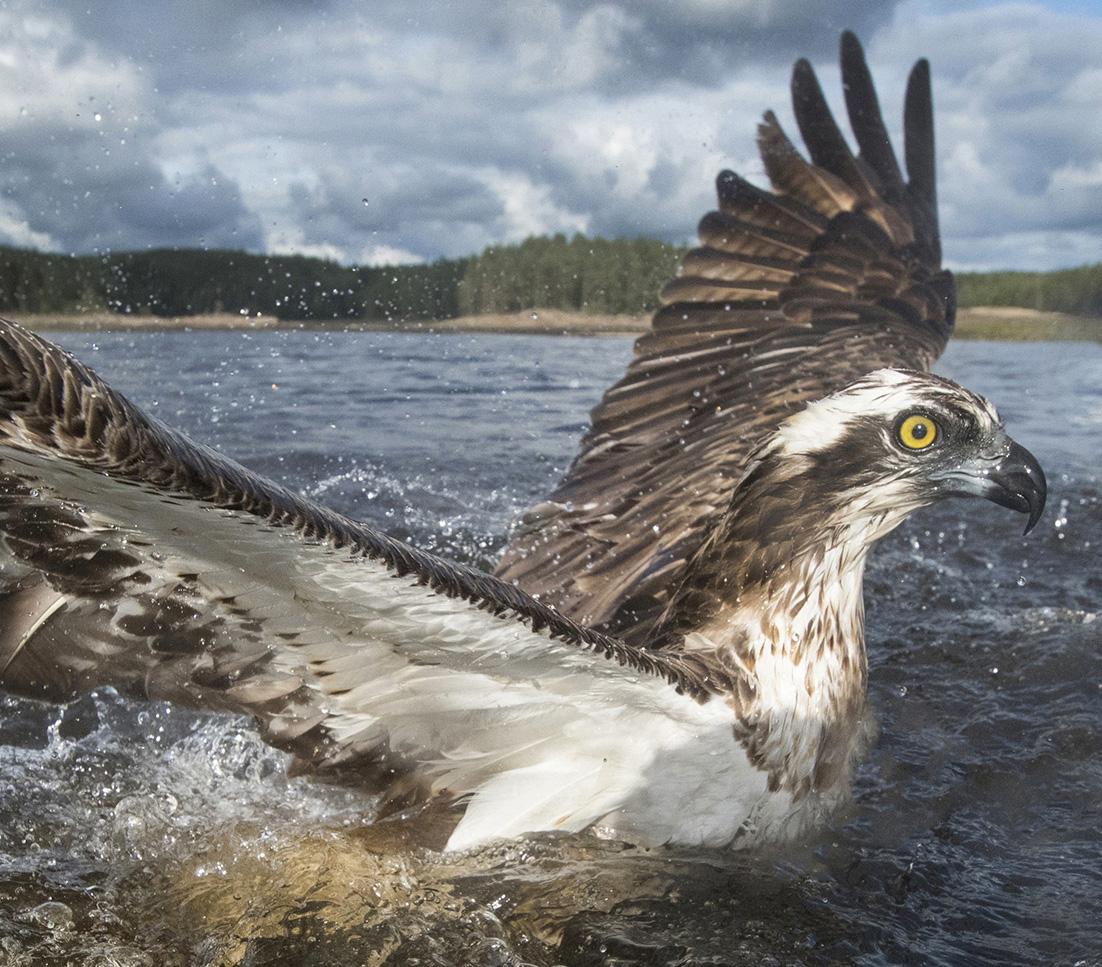 Fishing Osprey. Photo: Jørn Bøhmer Olsen.